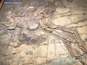 羽のある恐竜の化石