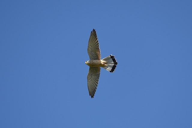 空を飛ぶ鷹