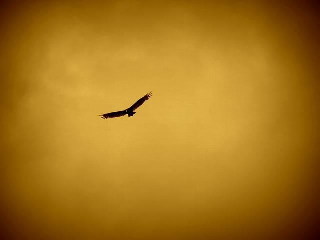 夕日を背景に飛ぶ鷹