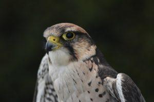 鷹のアップ写真