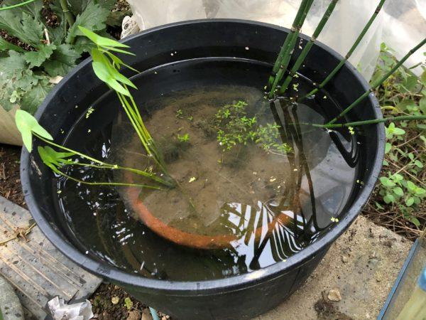 メダカ用睡蓮鉢